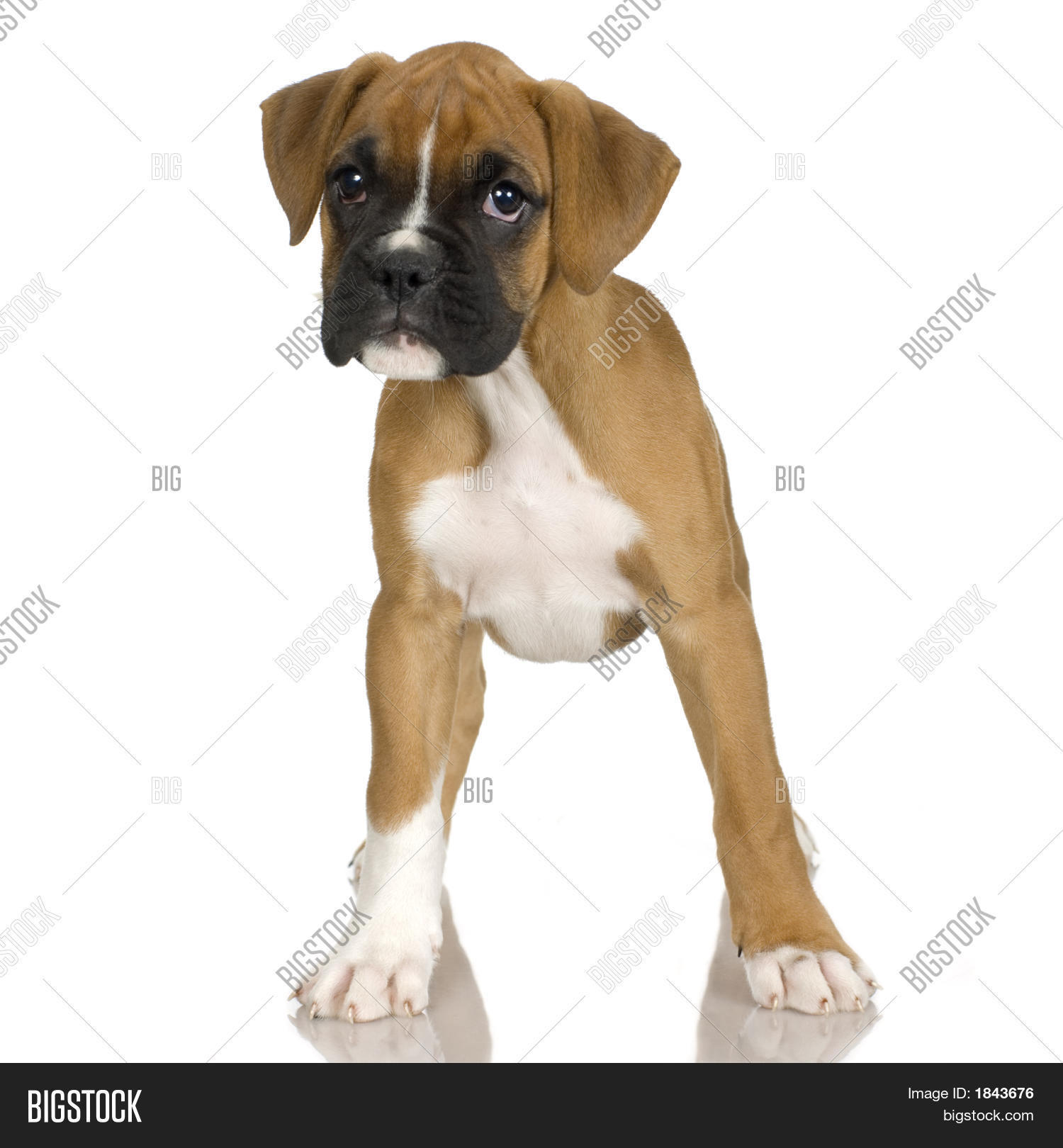Boxer De 4 Meses Puppy Boxer 2 Mounths Image And Photo Bigstock