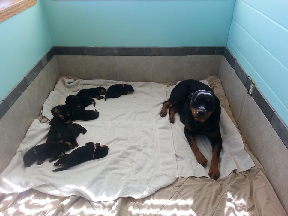 Meeting Your Breeder Akc German Rottweiler Puppies For Sale