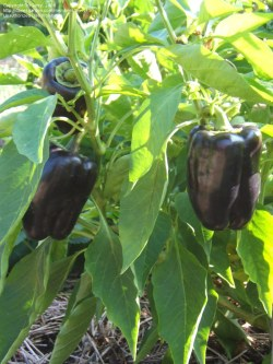 Small Of Purple Bell Pepper