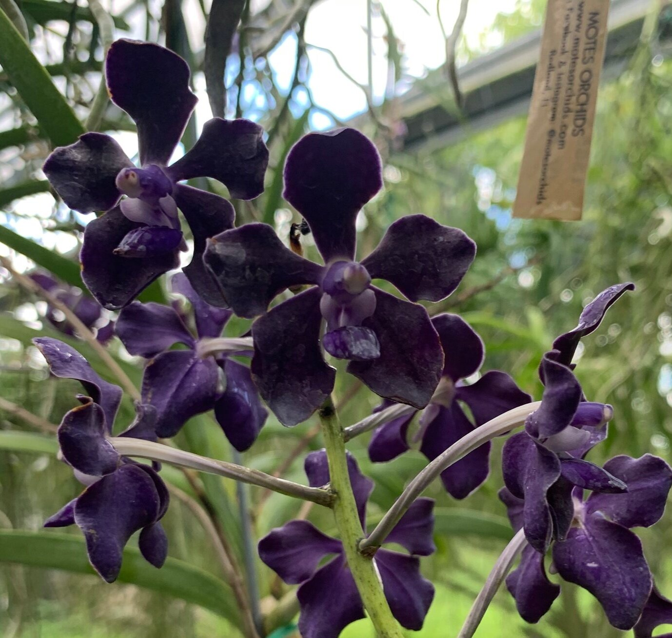 Vanda Stacey Bailey Motes Orchids