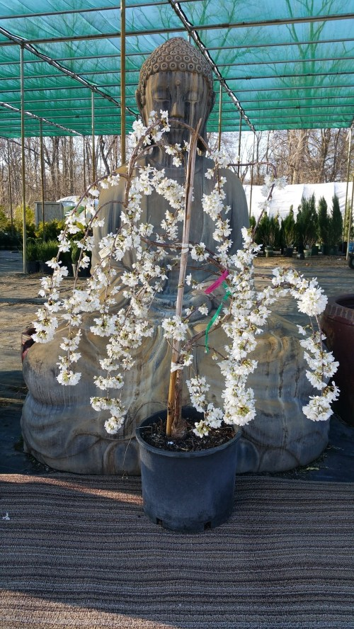 Medium Of Snow Fountain Weeping Cherry