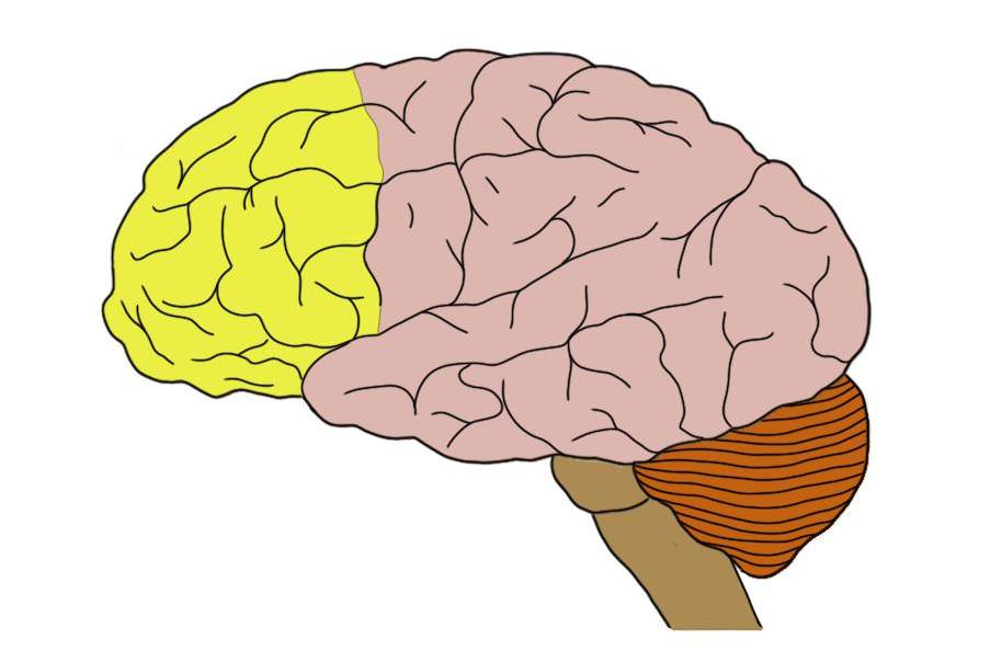 what does the cerebral cortex do