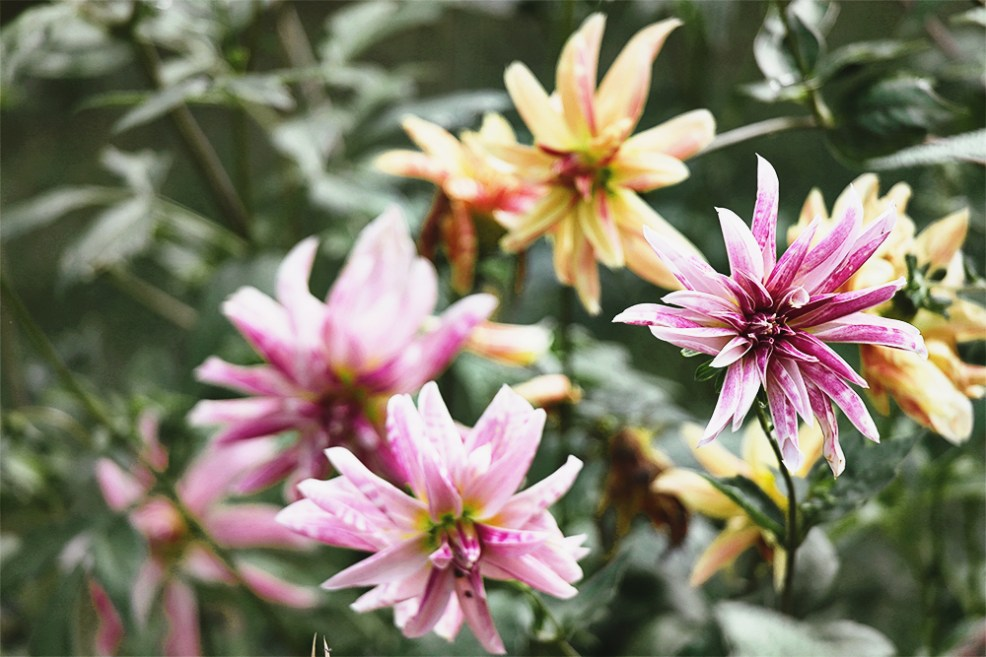 And these Dahlias with their candy stripes