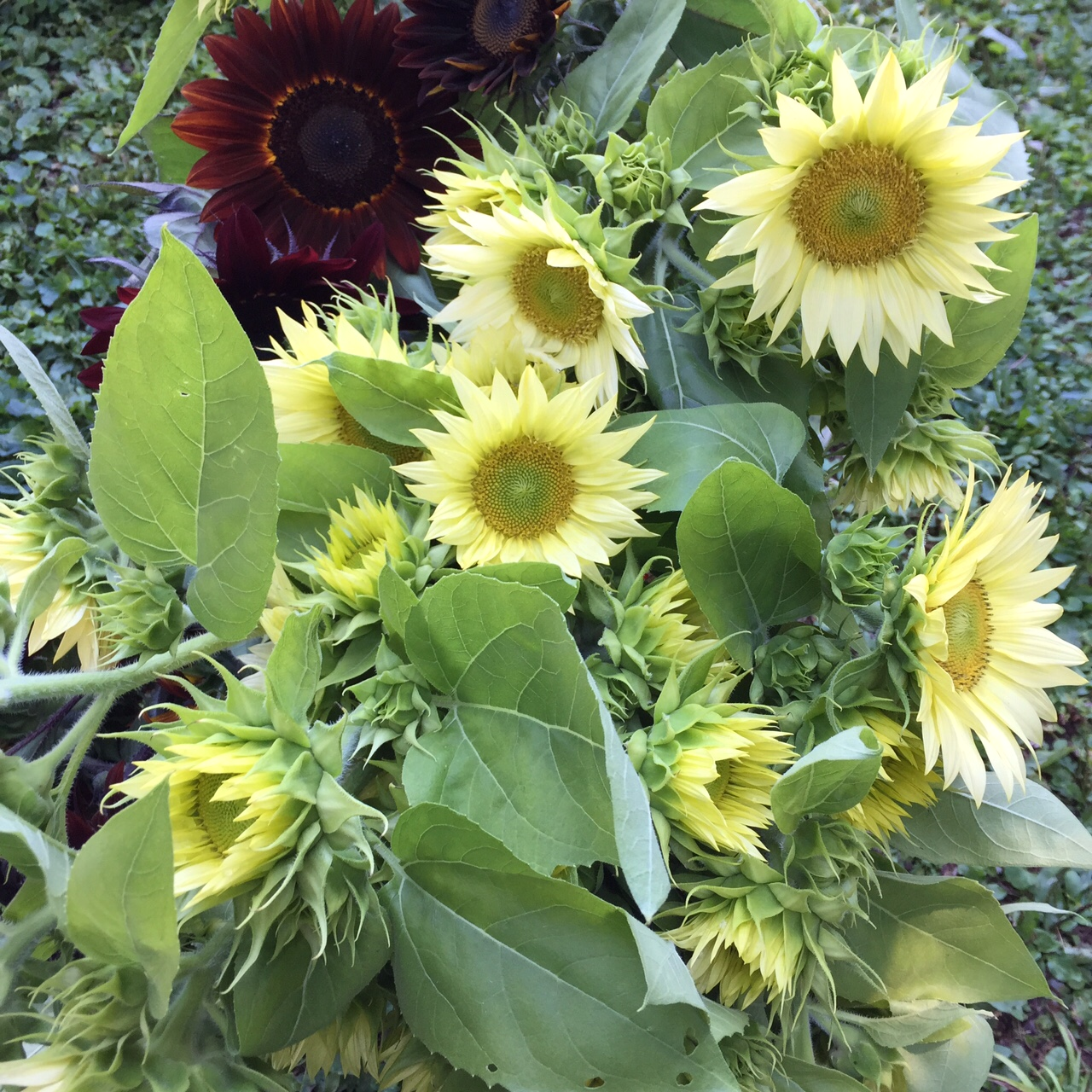 Sunflowers — Broken Chimney Farm