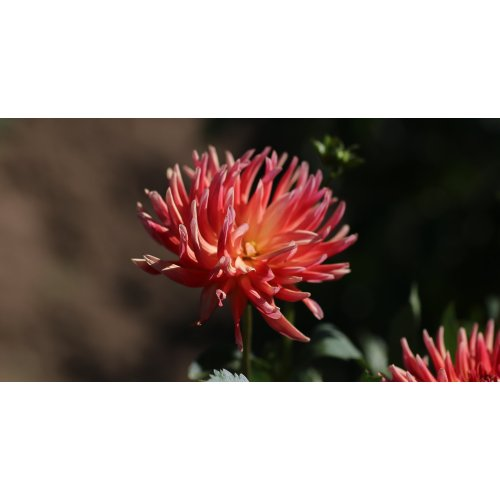 Medium Crop Of Swan Island Dahlias
