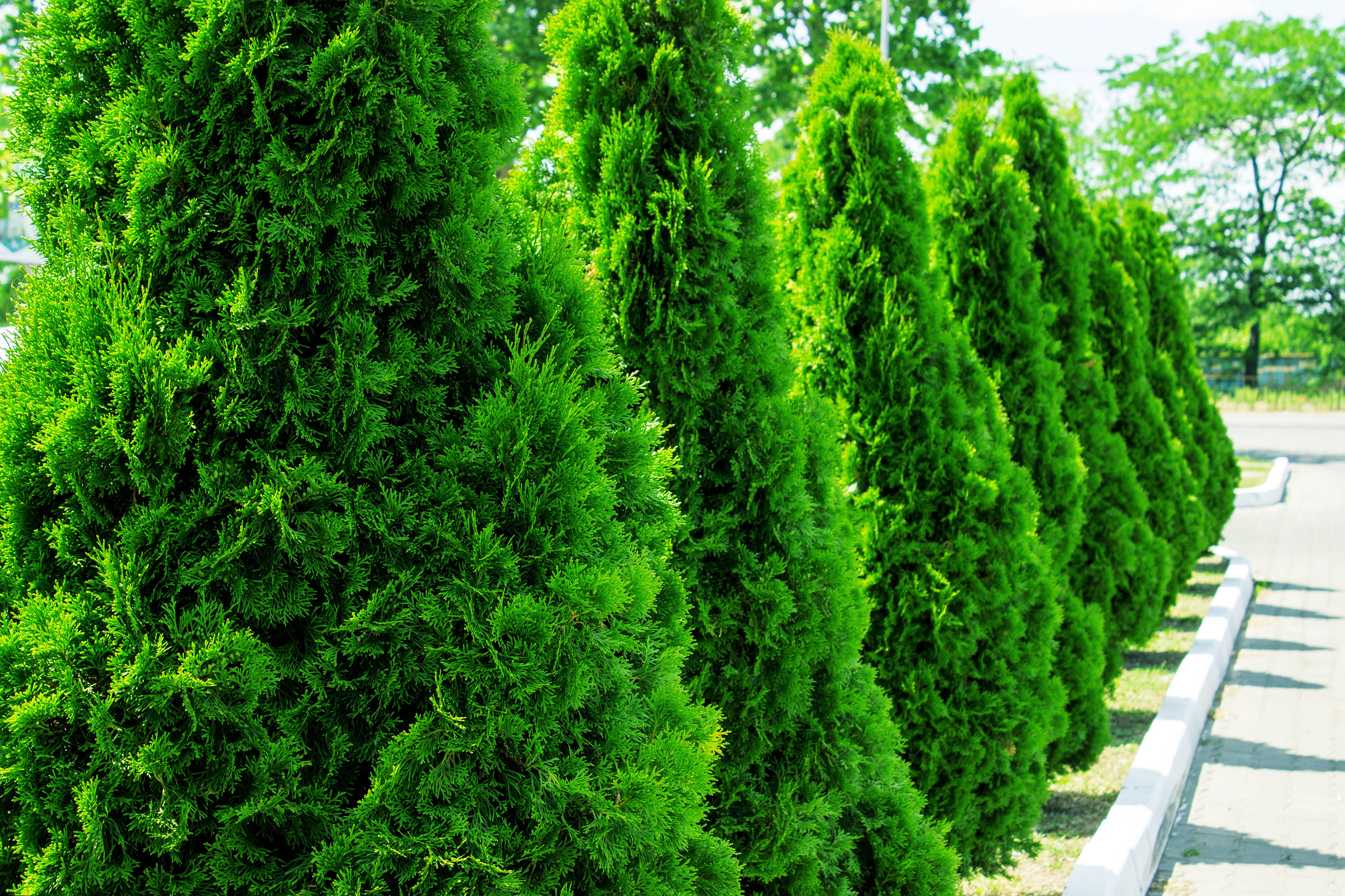 Thuja Yellow Ribbon Height 5 Trees For Screening Our Lovable Neighbors B B Barns