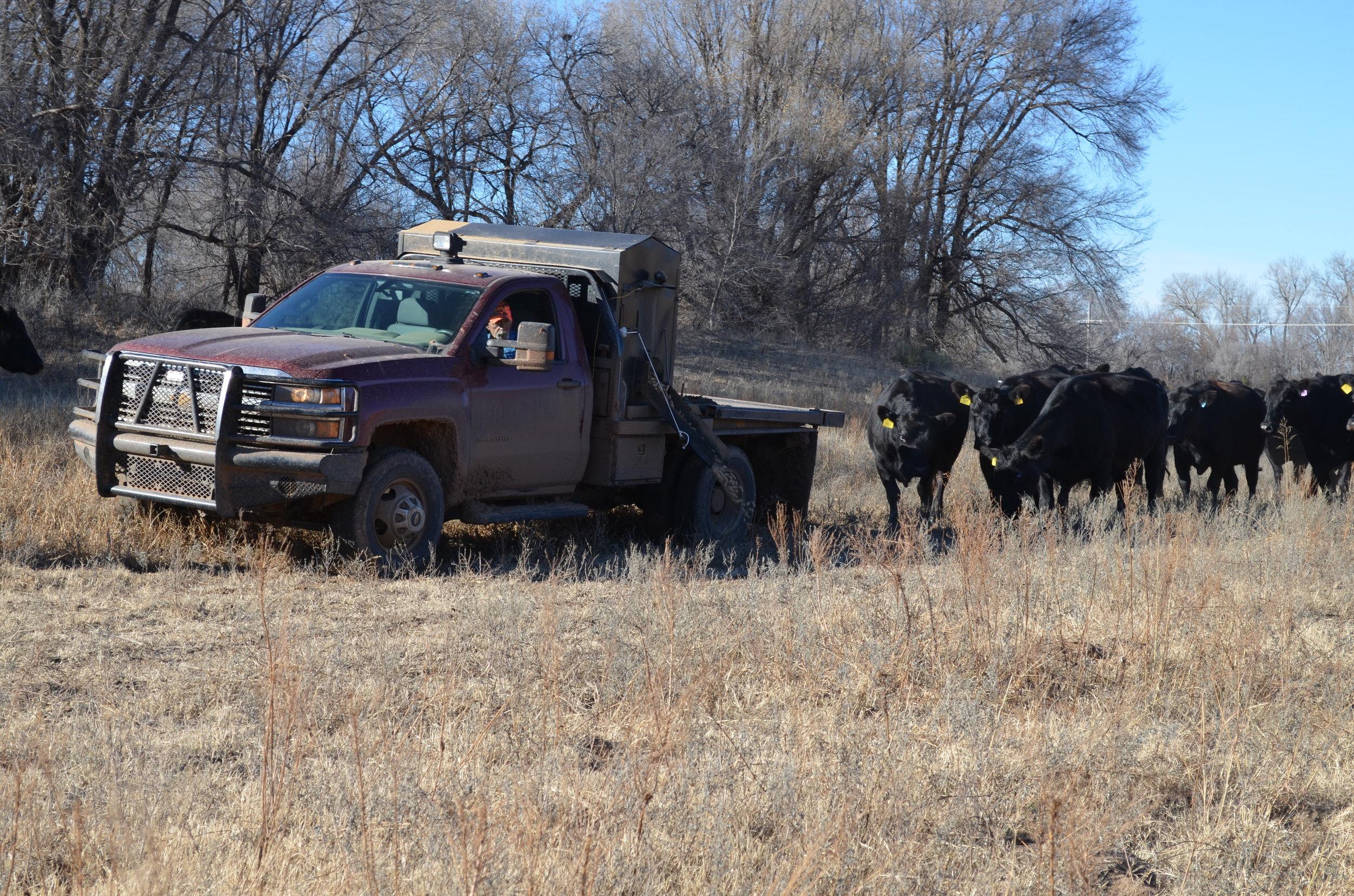 Feeding+cattle Yamaha G1