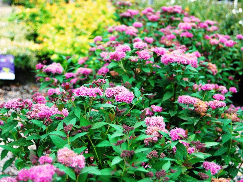 Large Of Neon Flash Spirea
