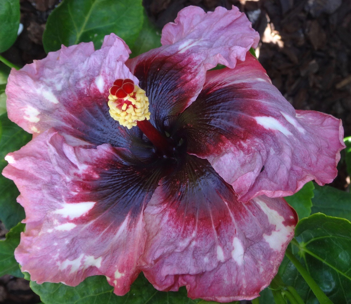 Fullsize Of Hidden Valley Hibiscus