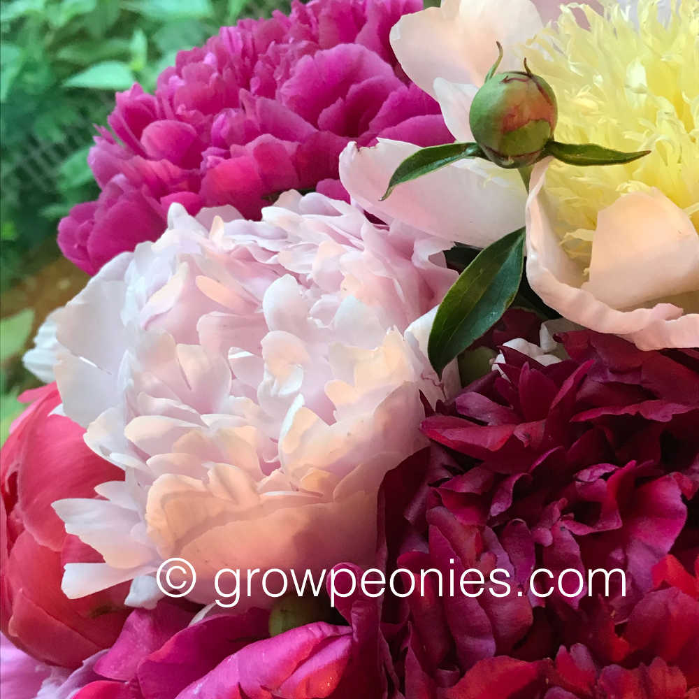 Pianese Flowers Minnesota Grown Peonies For Sale Countryside Gardens Peony Farm