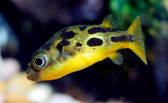 How to keep dwarf puffers \u2014 Practical Fishkeeping Magazine