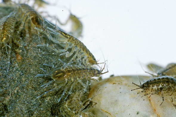 The essential guide to shrimp and hog-louse \u2014 Trout Fisherman