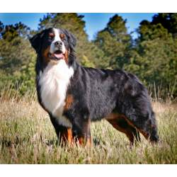 Small Crop Of Bernese Mountain Dog Lifespan
