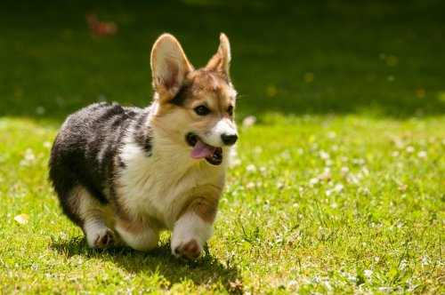 Medium Of Quiet Dog Breeds