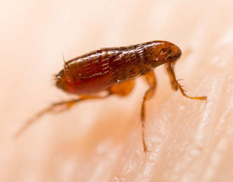 Flea Bites vs Bed Bug Bites What do I have?