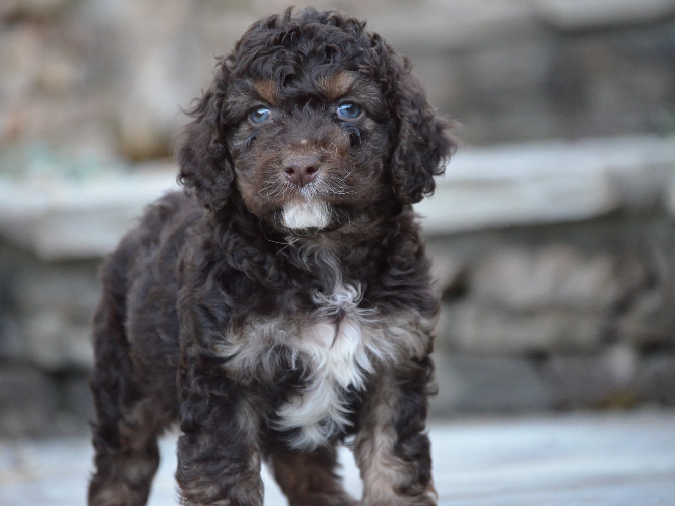 chocolate merle cockapoo all now reserved