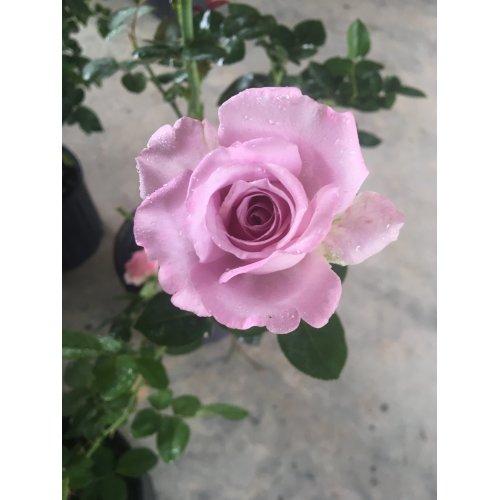 Medium Crop Of Blue Girl Rose