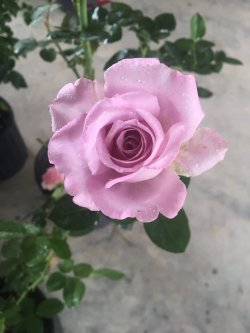 Small Of Blue Girl Rose