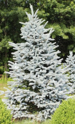 Small Of Baby Blue Eyes Spruce