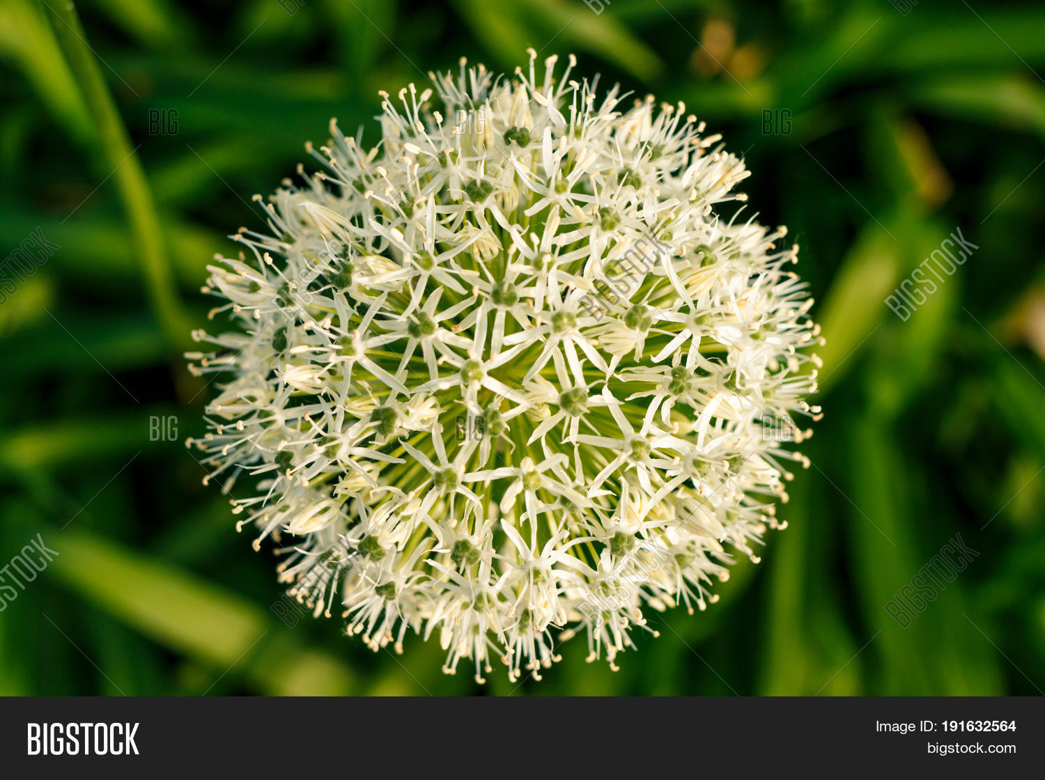Zierlauch Allium White Green Ball Image Photo Free Trial Bigstock