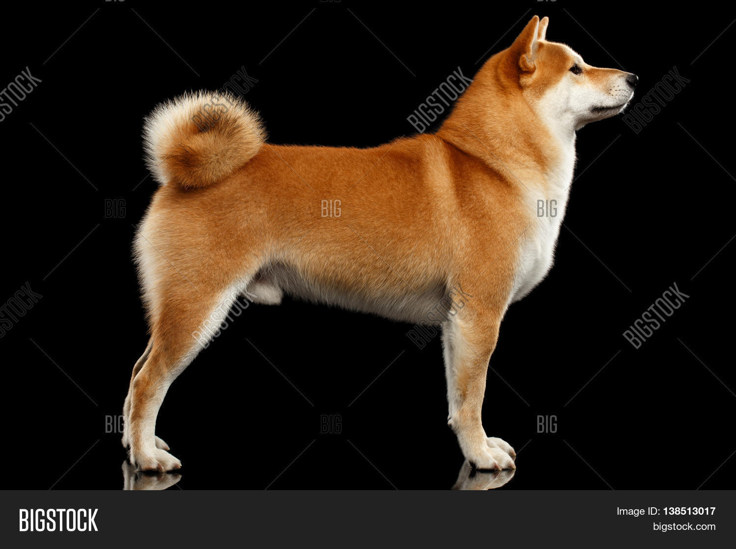 Bettwäsche Dog Side My Side Cute Pedigreed Red Shiba Inu Breed Dog Standing On