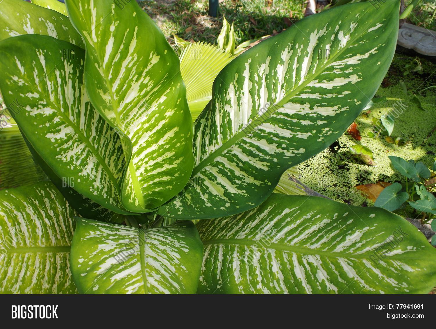 Large Leaf Houseplant Variegated Large Leaf Plant Close Image And Photo Bigstock