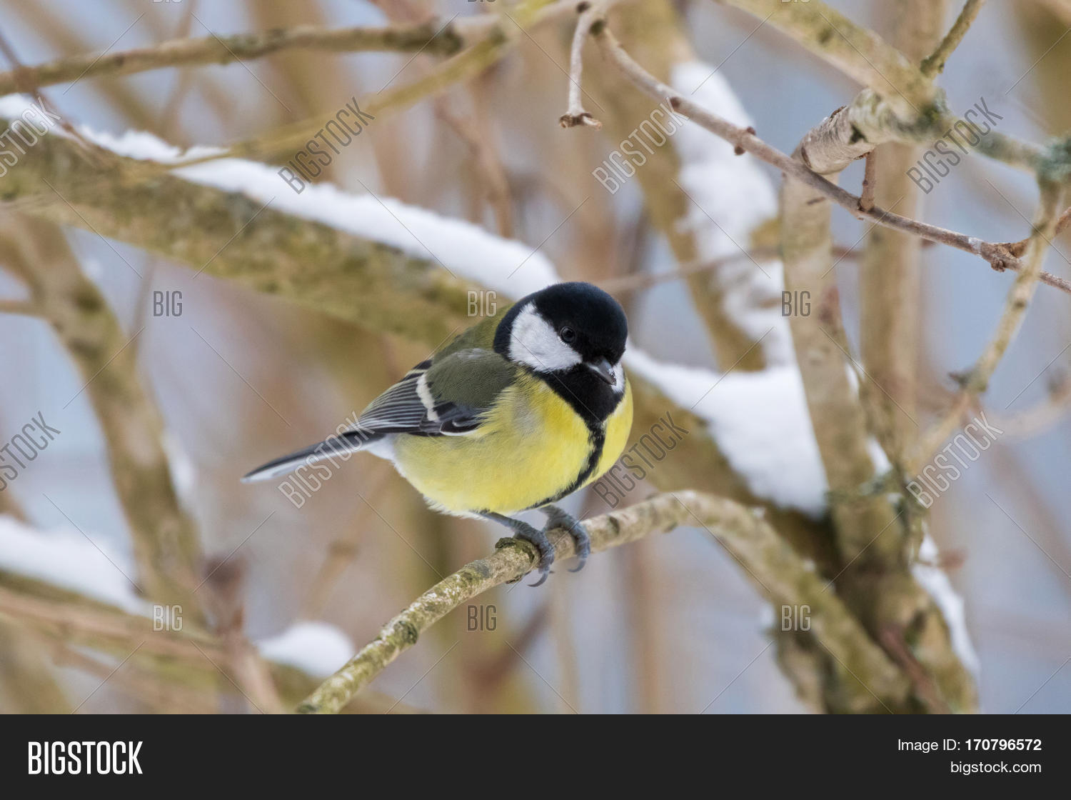 Kohlmeise Winter Cute Little Great Tit Image Photo Free Trial Bigstock