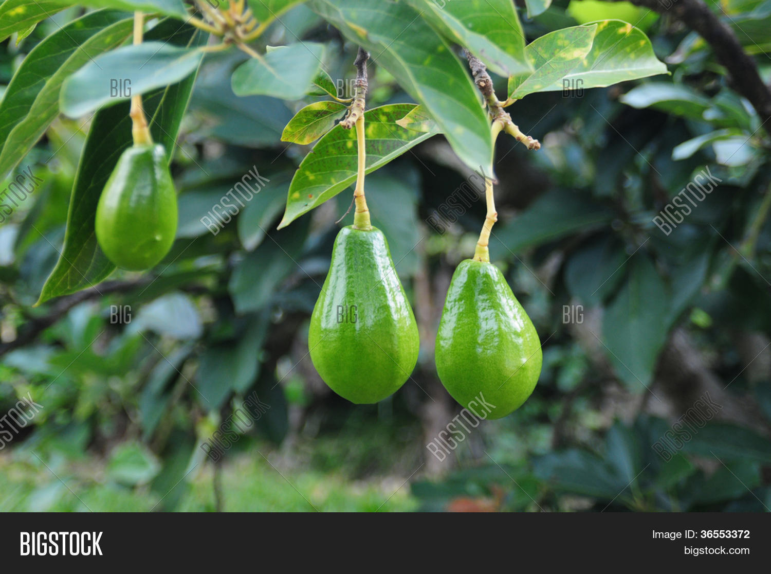 Avocado Boom Avocado Tree Image Photo Free Trial Bigstock