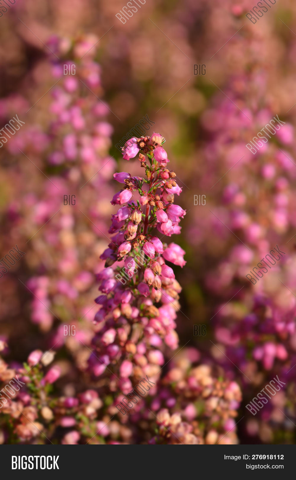 Erica Gracilis Pink Bell Heather Image Photo Free Trial Bigstock