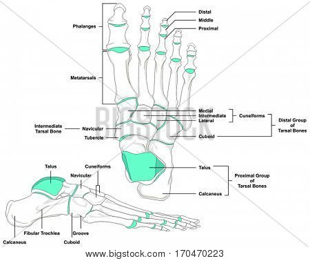 Human Foot Bones Anatomy Diagram in anatomical position Front and - anatomical position
