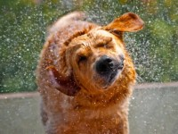 why-dogs-smell-so-foul-when-they-get-wet.jpg