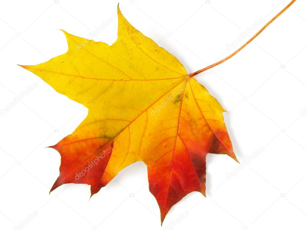 Falling Maple Leaves Wallpaper Single Maple Leaf Stock Photo 169 Dleonis 1111439