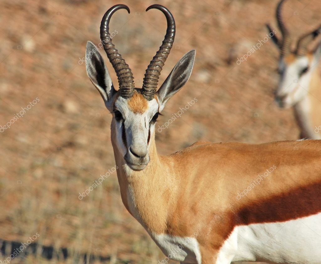 Cute Relationship Wallpaper Springbok Antelope Stock Photo 169 Chriskruger 1899737