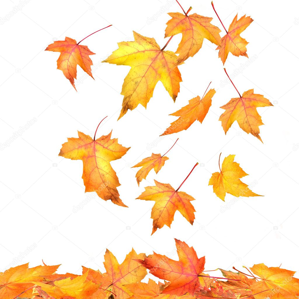 Falling Leaves Live Wallpaper Download Maple Leaves Falling On White Background Stock Photo