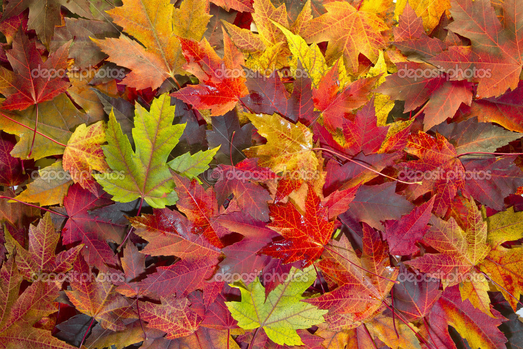 Falling Leaves Live Wallpaper Download Maple Leaves Mixed Fall Colors Background 2 Stock Photo