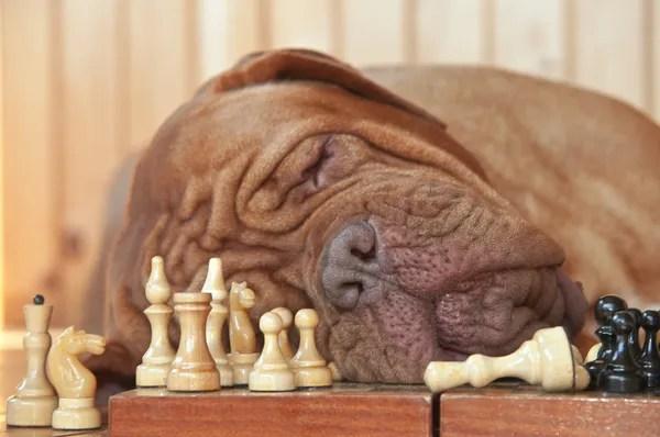 Image For Home Grand Master Bordeaux Dogue De Bordeaux