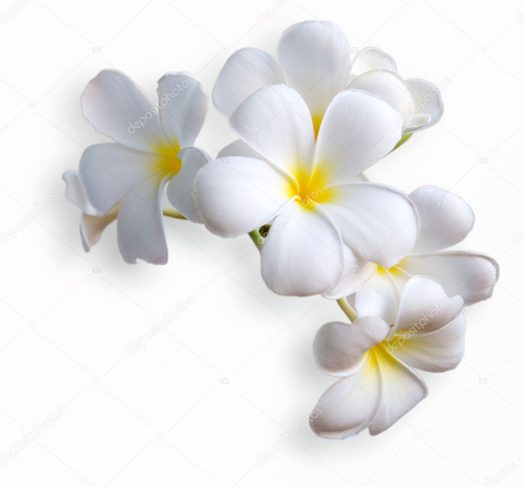 Lavendel Küchenrückwand Frangipani Tropical Flowers From Deciduous Tree Plumeria
