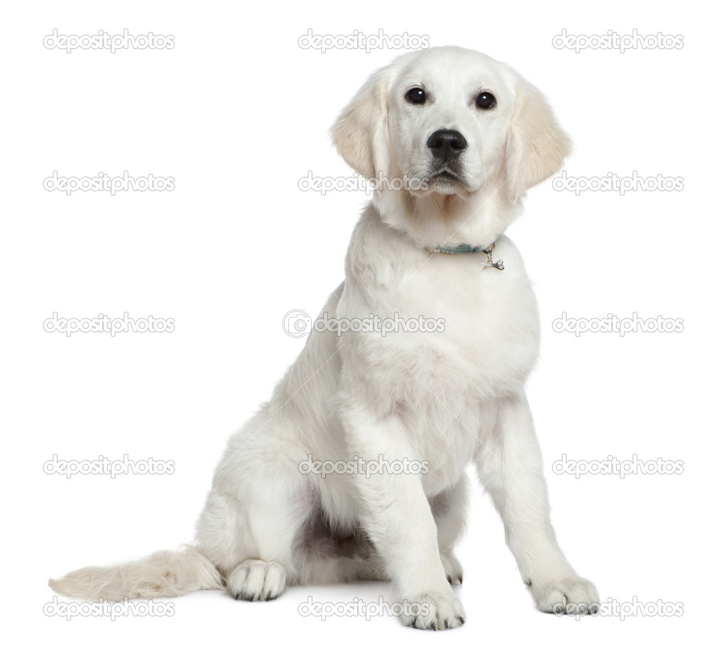 Golden Retriever 2 Meses Golden Retriever Puppy 5 Months Old Sitting In Front Of White
