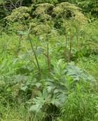 Toxic Giant Hogweed as seen on Cross Country Road near Bancroft, Ontario