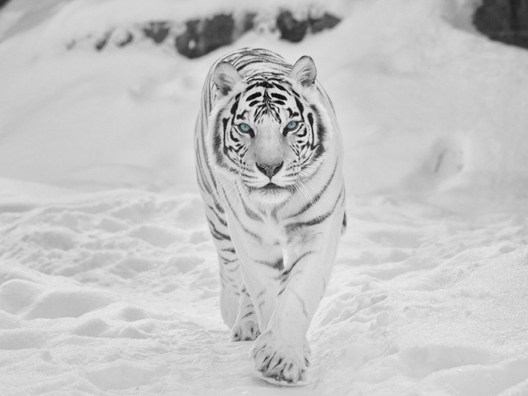 Tiger-in-Snow-Wallpapers
