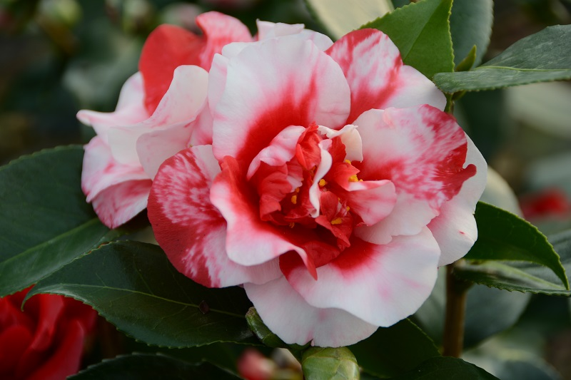 Plantation Terrasse Camellia Midnight Variegated