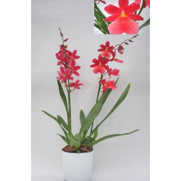 Decoration Mortuaire Orchidee Cambria - Stessy Fleurs
