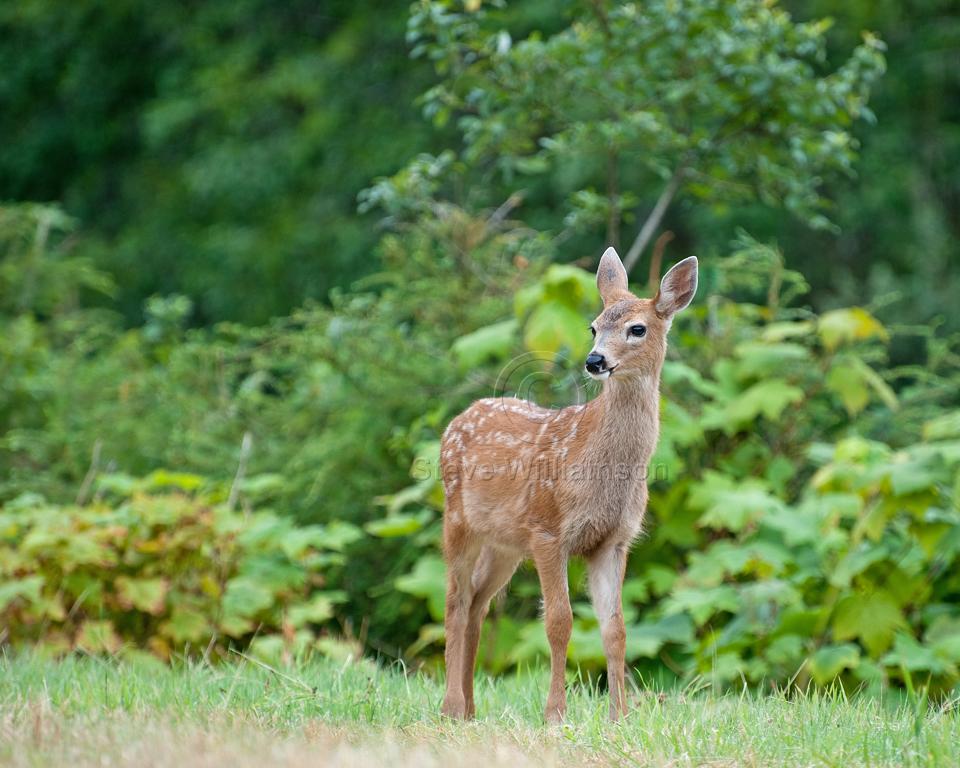 Deer-Fawn.jpg