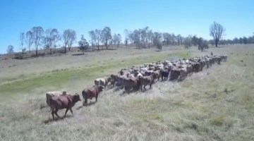 Herding Cattle with Drones