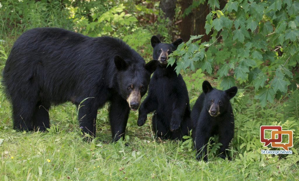 Fall Harvest Desktop Wallpaper Growing Bear Population Prompts Utah Wildlife Board To