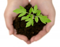 bigstock-A-Small-Plant-In-The-Caring-Ha-32349164-250x195