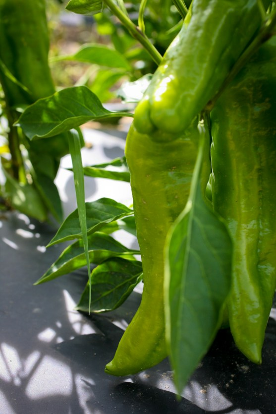 Italica or Cubanelle peppers