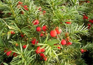 Taxus_baccata17