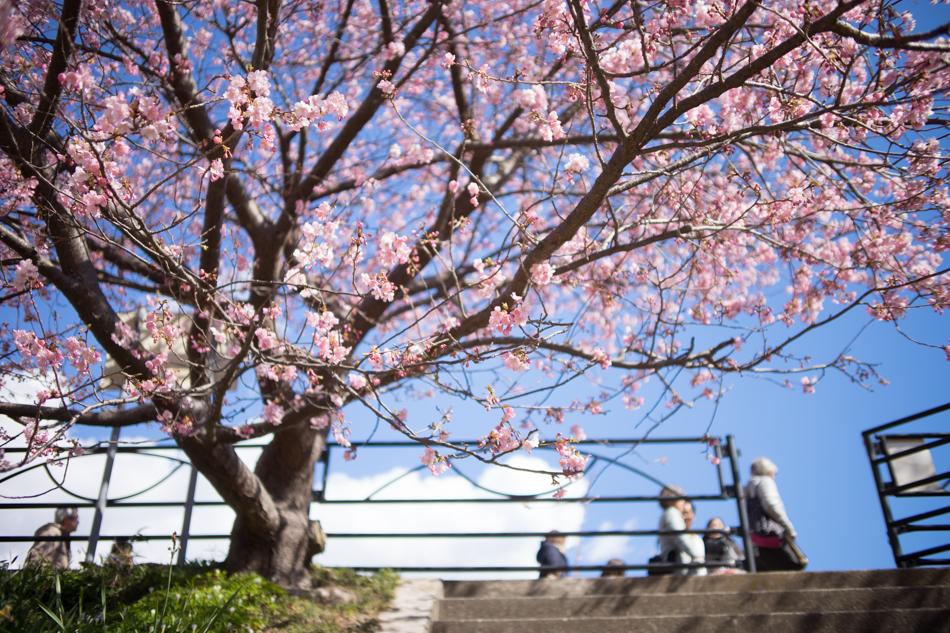 α7II + Creator 35mm F2 + LM-EA7 絞り優先AE F2 1/1600秒 +1.3EV ISO100 AWB RAW 開放で桜の花の小さな集まりにピントを合わせる。迷うことなく合焦し、桜の花をシャープに切り出し、背景を大きくボカしてくれた。