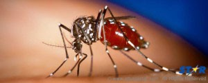 The dreaded aedes aegypti mosquito: God made or engineered by man?
